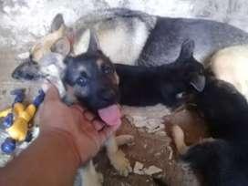Vendo cachorros Pastor Aleman los 2 ultimos