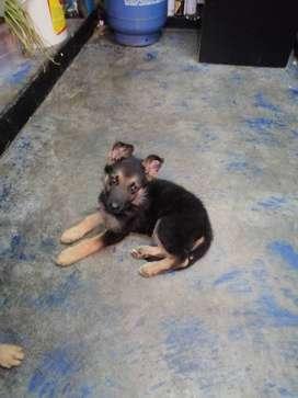 Vendo cachorros pastor alemán originales de mes y medio de nacidos