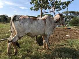 Vacas clasudas