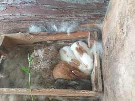 Se Venden Conejos de Todos Los Tamaños