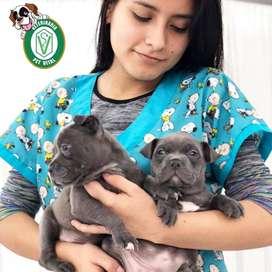 Hermosos Cachorritos Pitbull Blue en Pet Vital