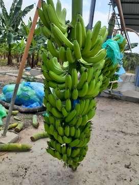 Bananos verdes de exportacion