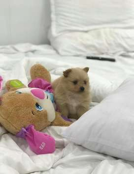 Hermoso pomerania disponible.