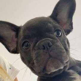 perritos bulldog frances exoticos hermosos de 55 dias