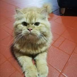Vendo gato persa de 7 meses gordito y bonito