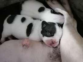 Bulldogs francés pequeños con garantía