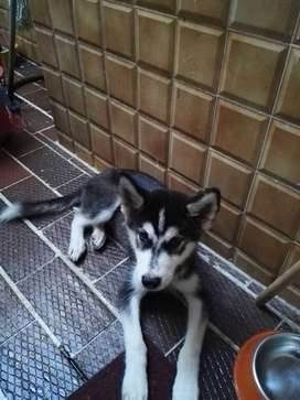 Hermoso cachorro Siberiano