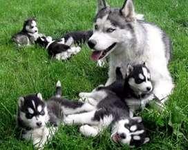 Peludos y gorditos lobos en venta