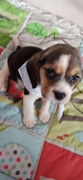 Hermosos cachorritos bigle tricolor de 45 días
