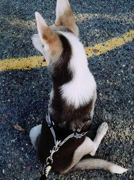 Se vende cachorro lobo siberiano 4 meses vacunado y desparasitado