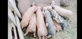 Cerdos de raza duroc pietrim 130 soles