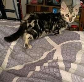 Gato bengalí marmolado