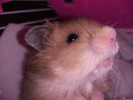 Vendo Hamster con Jaula Bebedero