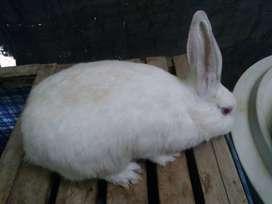 Coneja blanca preñada