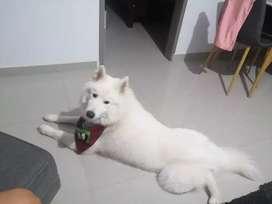 Perro Samoyedo busca novia