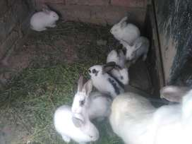 Vendo conejo para masconta