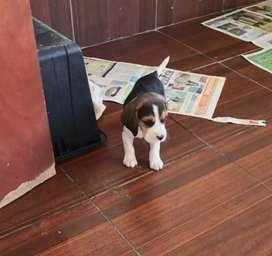 Beagles enanos 13 pulgadas gorditos lindos