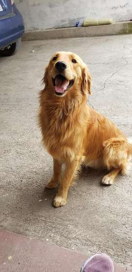 Golden Retriver Disponible para Monta