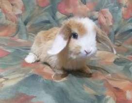 Conejos enanos Holland Lop en LA PLATA