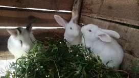 Se vende hermosos conejos. 2 normales y 1 cabeza de León