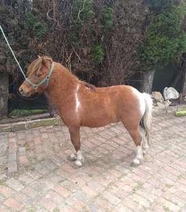 Vendo pony pinto de montar 87 cm alzada capon