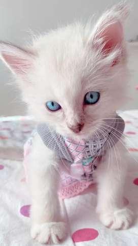 Adopcio de gatos