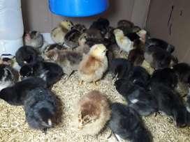 Venta de pollitos criollos y patitos bebes