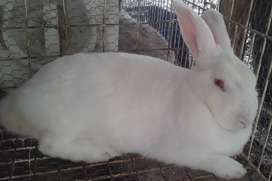 Venta de conejos tipo carne