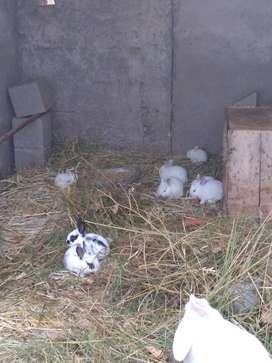 Vendo conejos de destete