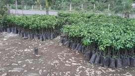 Plantas Ornamentales Y Frutales