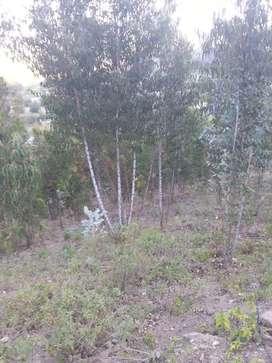 Vendo eucaliptos tipo PINGOS