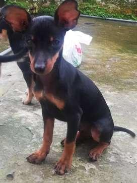 Hermoso cachorro 4 meses