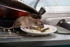 ratas-ratones-roedor- sistema de control/cebado especializado