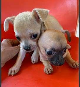 Chihuahuas hembritas