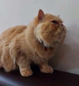 Gato persa  monta en cali