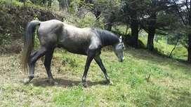 caballo appalossa 5 años