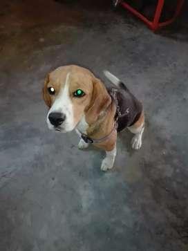 Beagle busca novio