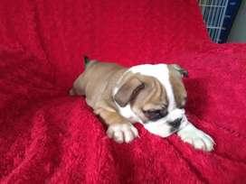 Hermosos Bulldog inglés