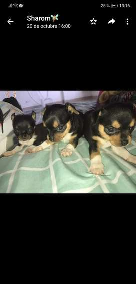 Hermosos chihuahuas tricolor toy