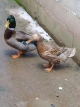 Vendo patos canadienses