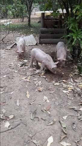 Se venden cerdos