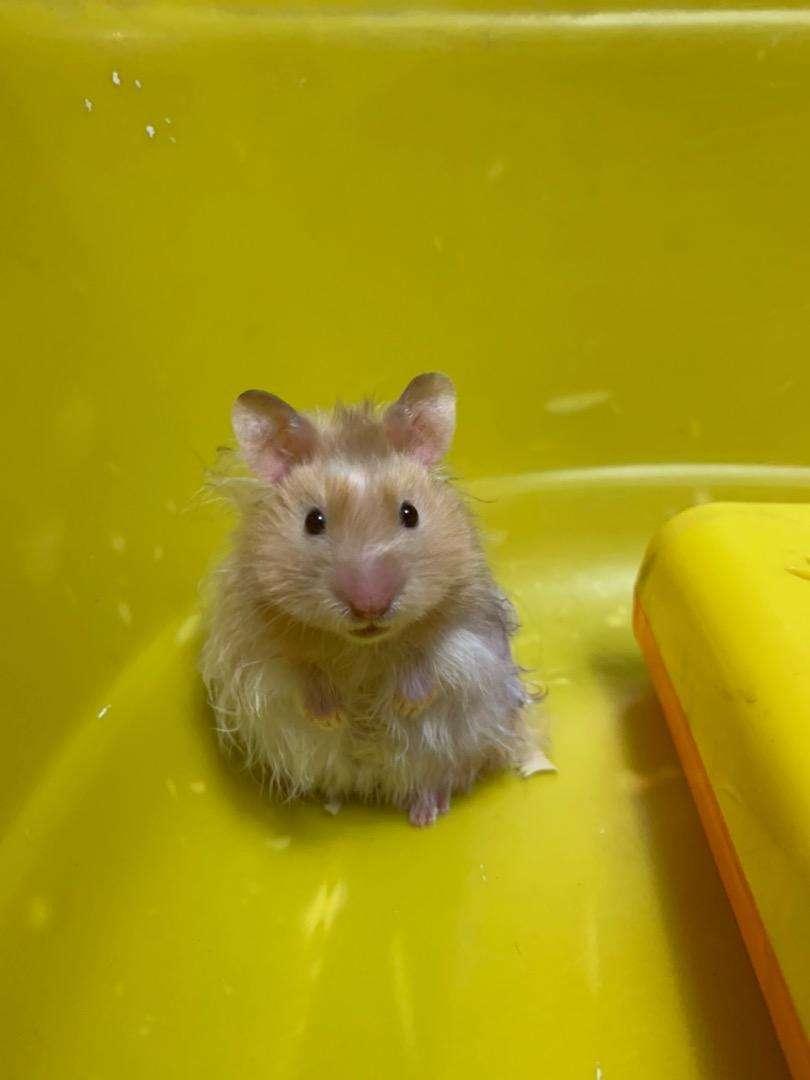 Hamster angora 0
