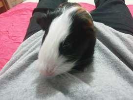 Cuys coballas guinea pigs
