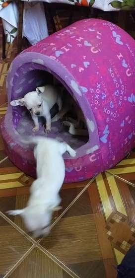 Vendo cachorrito blanco chihuahua dos meses