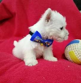 Perro westy higland terrier