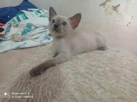 Hermoso gatico siames blu
