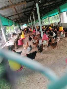 Vendo lote de 300 gallinas criollas 100%