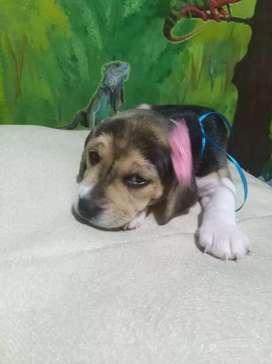 Tu cachorro lindo beagle enano