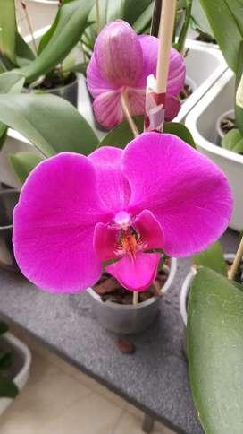 Hermosas orquídeas Phalaenopsis desde $30000