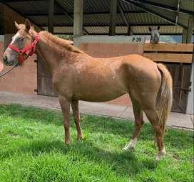 Yegua Appaloosa con cuarto de milla